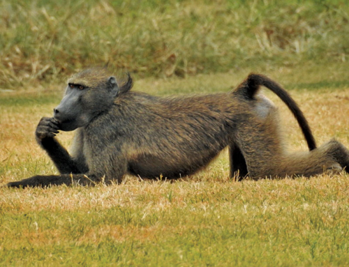 baboon chilling on the grass