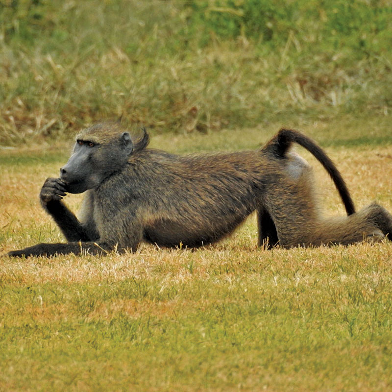 Baboon-Chilling