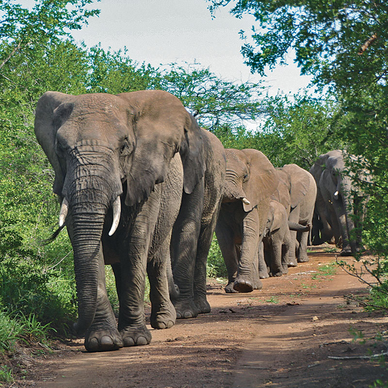 elephants heading home