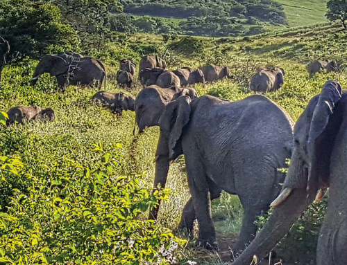 elephants heading for the hills