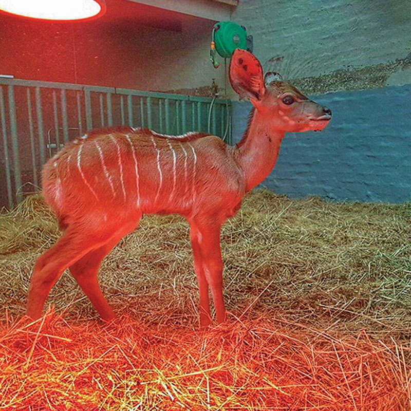 Lucy the common duiker getting warm