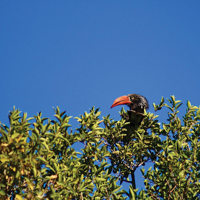 Crowned Hornbill enjoying the sun