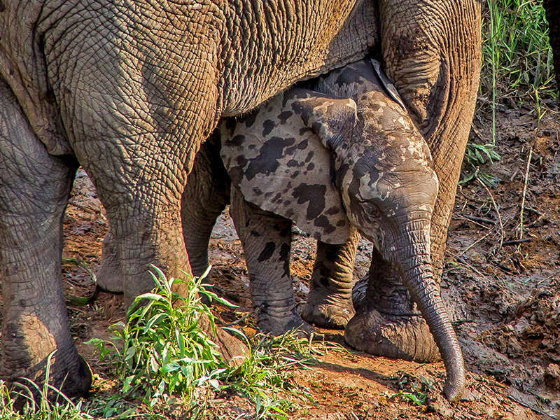 safari-medium-baby-elephant-1