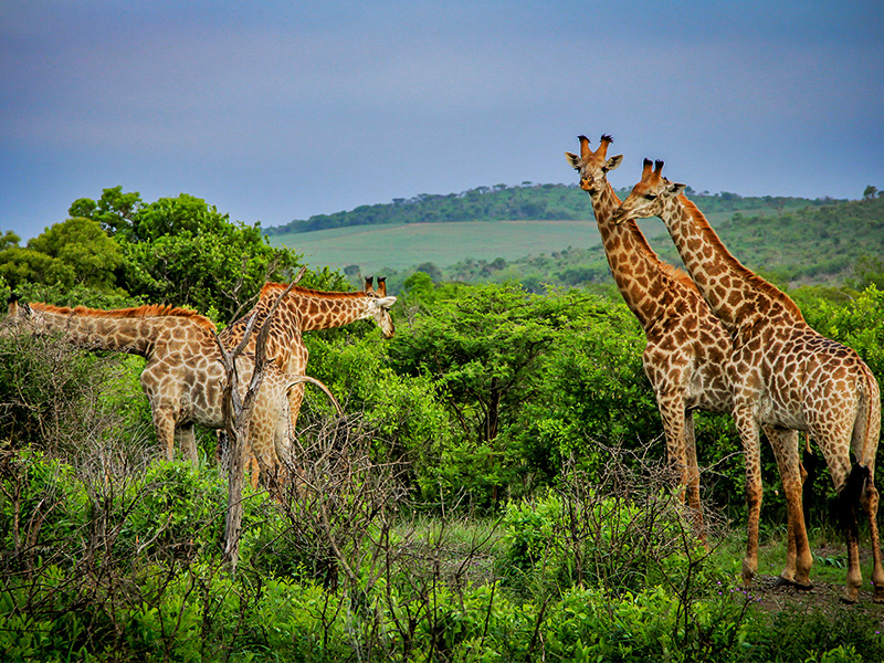 safari-medium-giraffe-mates-2