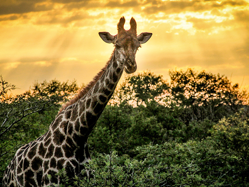 safari-medium-giraffe-sunset