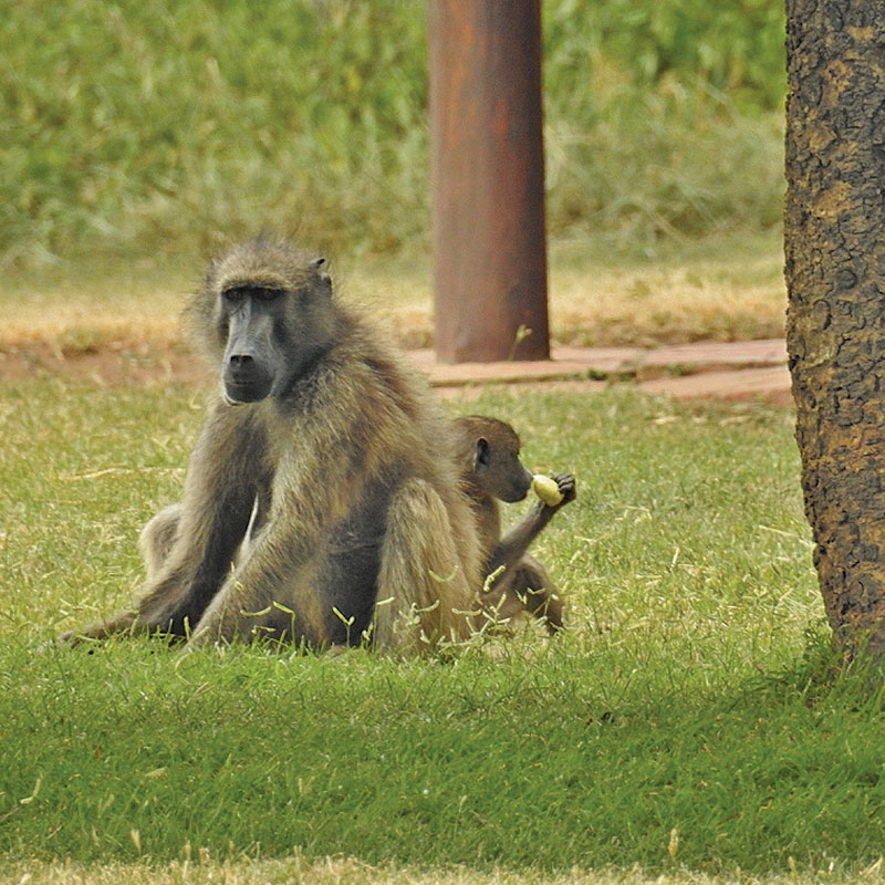 Baboon Chilling with Baby