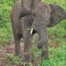 baby elephant eating
