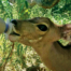 Lucy the common duiker feeling thirsty